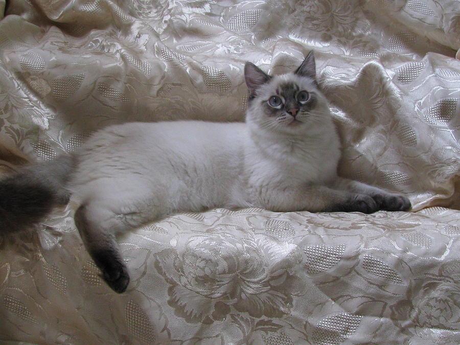 Kitten Lynx Point Snow Long Hair
