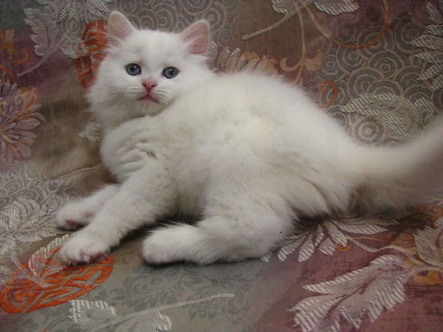 Kitten Pristine Snow White Valentine Blue Eyes Doll Face Long Hair  Silktapestrykittenstm by Pamela Benham