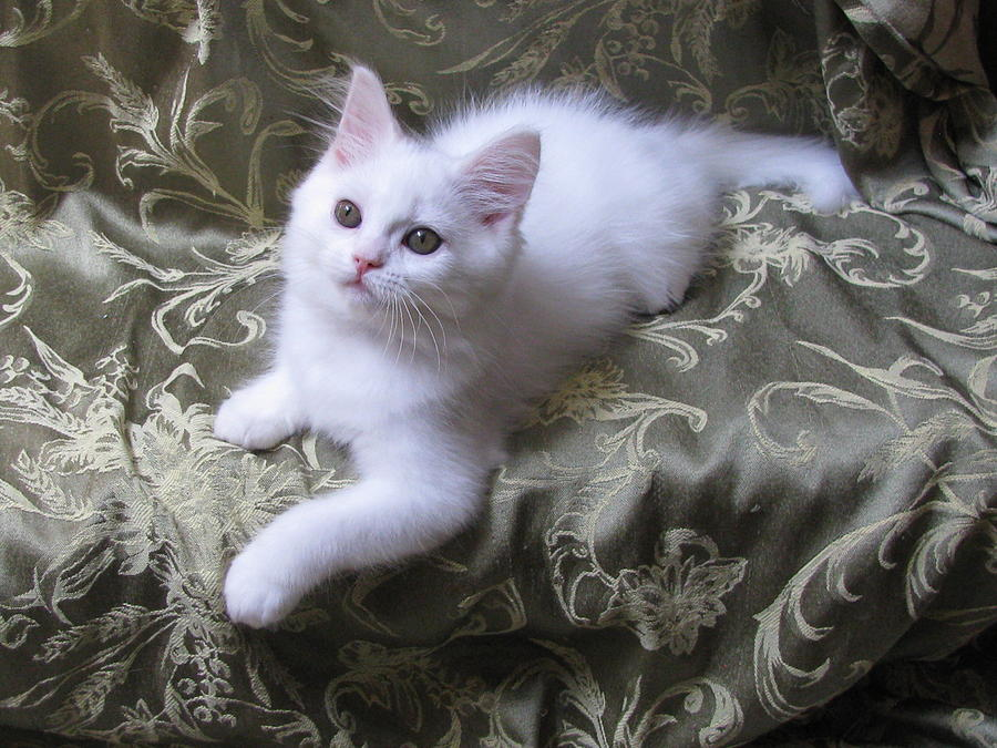 Kitten Snow White Silky Fur Photograph by Pamela Benham