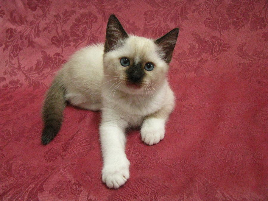 siamese x ragdoll kittens - photo #14