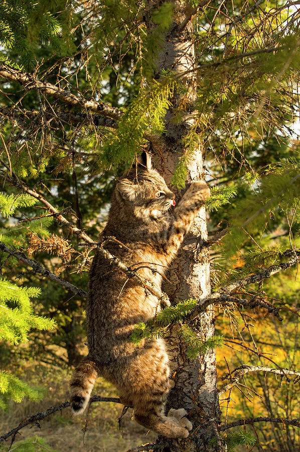 Bobcat Photograph - Kitten up a tree by Roy Nierdieck