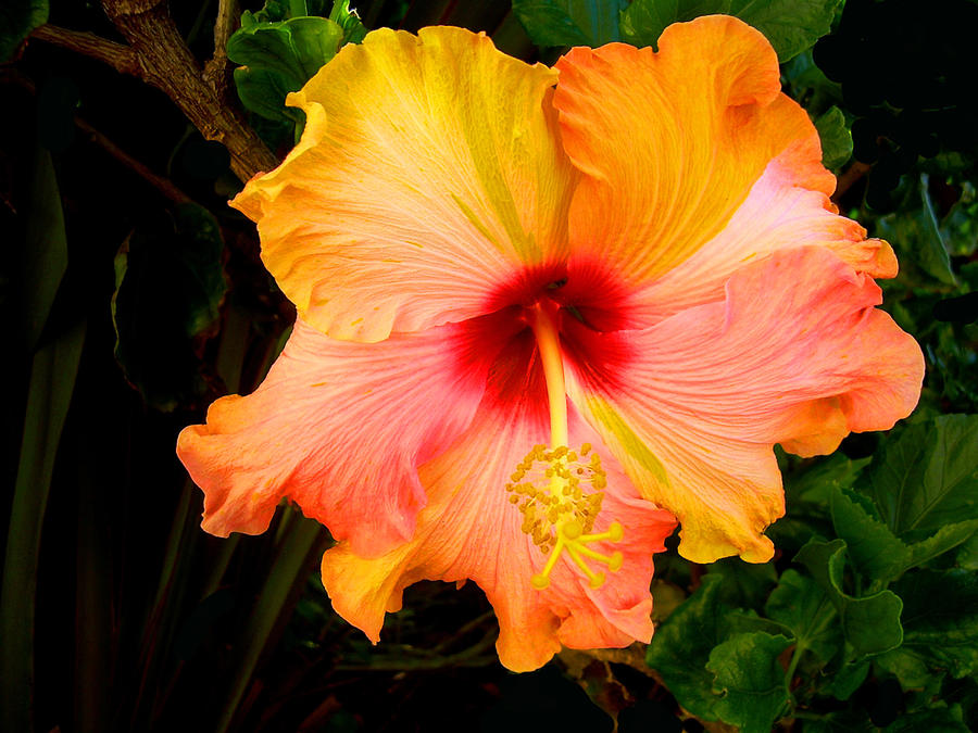 Hibiscus Photograph - Knightsbridge Hibiscus by Michael Durst