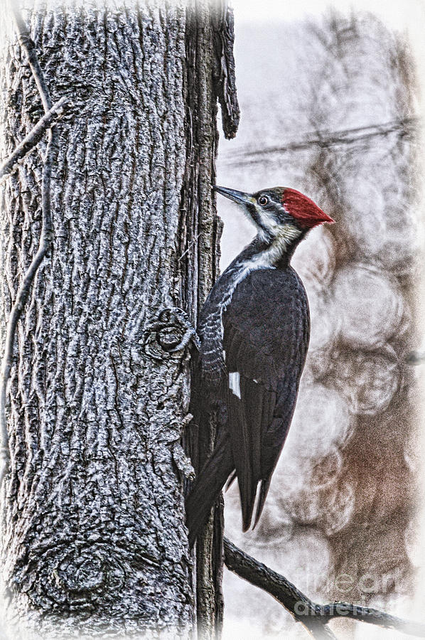 Woodpecker Photograph - Knock Knock by Lois Bryan