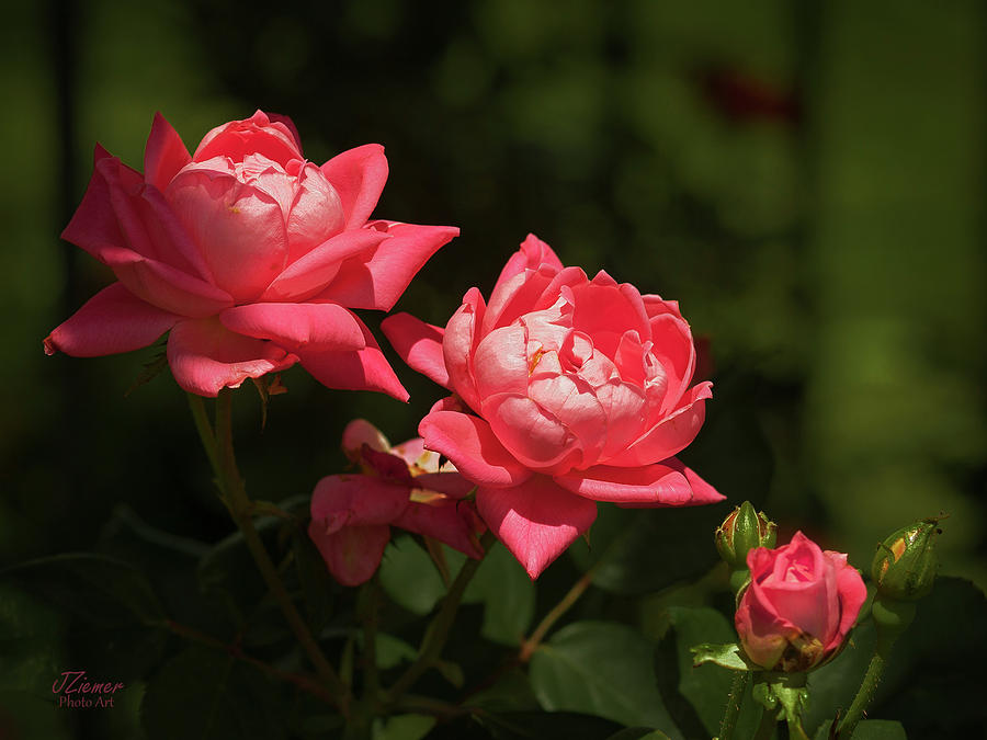 Roses Photograph - Knockout Roses by Jim Ziemer