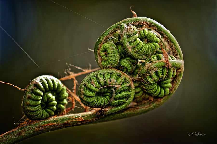 Fern Photograph - Knotted by Christopher Holmes