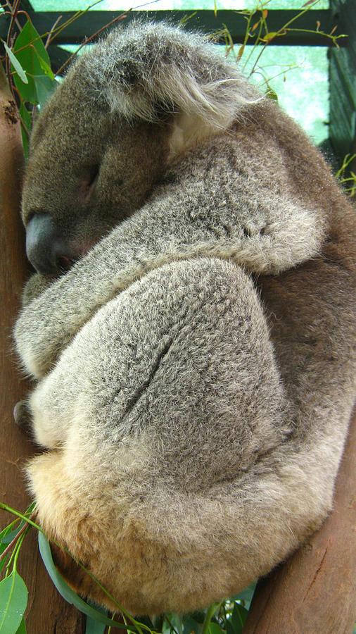 Koala Photograph by Emma Frost