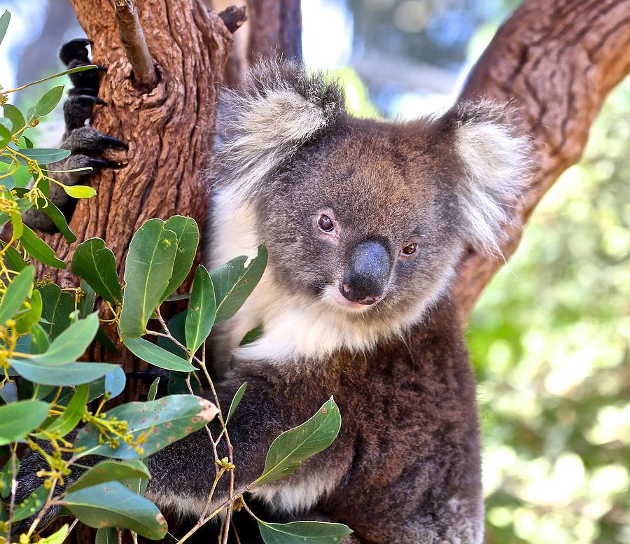 Koala by Jon Reddin Photography