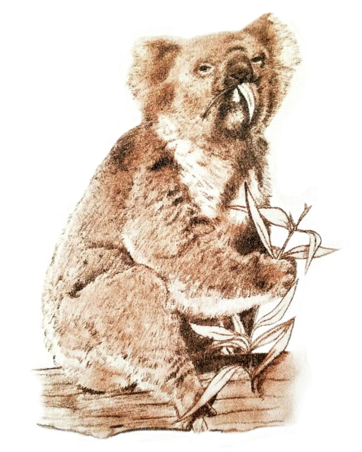 Koala by Murry Whiteman