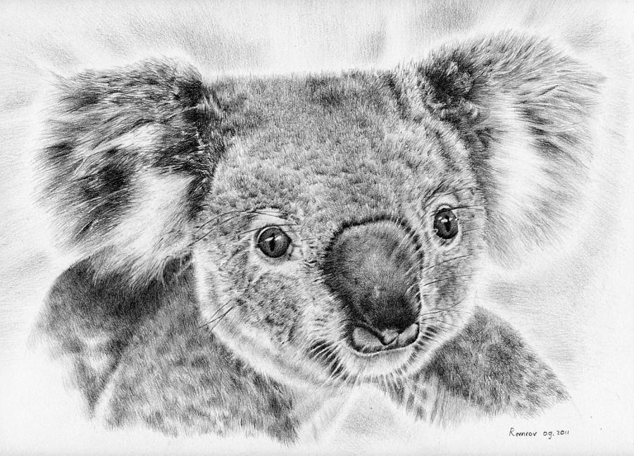 Koala Newport Bridge Gloria Drawing