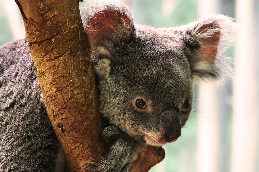Koala Photograph - Koala Portrait by Brian M Lumley