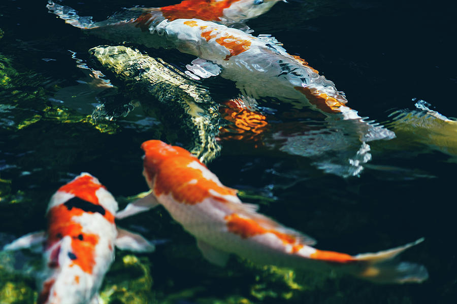 Koi fish in water photograph by pati photography for Large coy fish