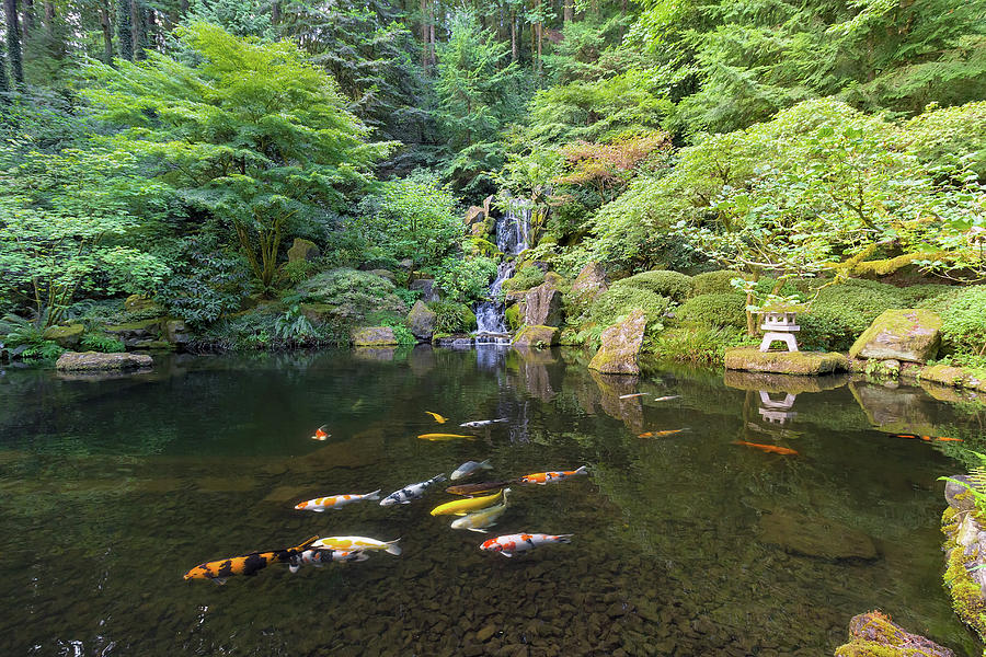 Waterfall Photograph - Koi Fish in Waterfall Pond at Japanese Garden by David Gn