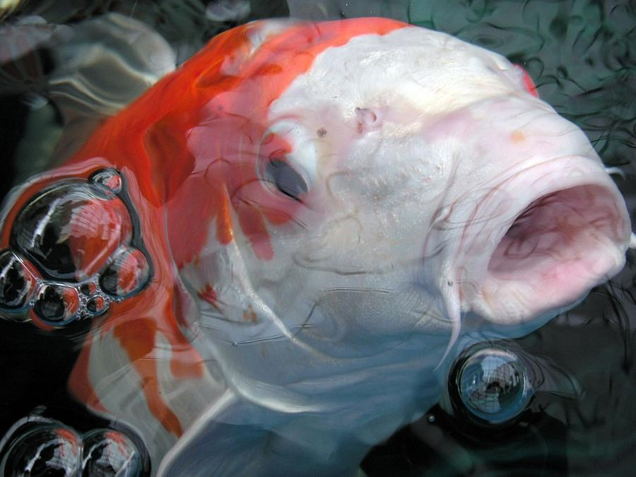 Koi Photograph - Koi Fish by Renee Pettersson