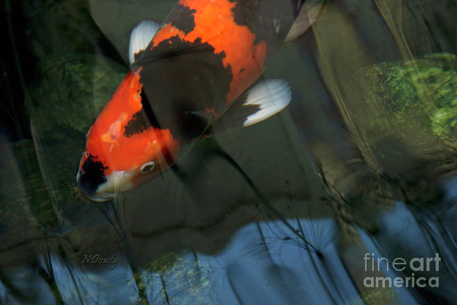 Koi Reflection by Natalie Dowty