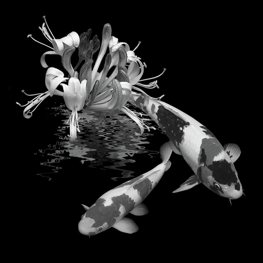 Fish photograph koi with honeysuckle reflections in black and white by gill billington