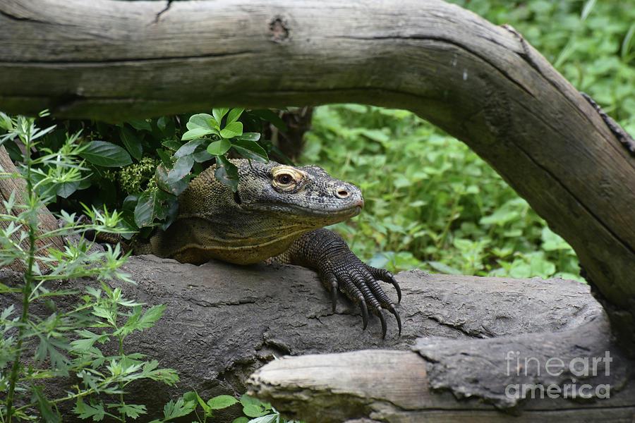 Monitor Photograph - Komodo Dragon Creeping Through Two Fallen Logs by DejaVu Designs