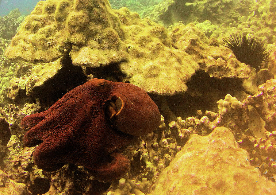 Octopus Photograph - Kona Day Octopus by Radine Coopersmith