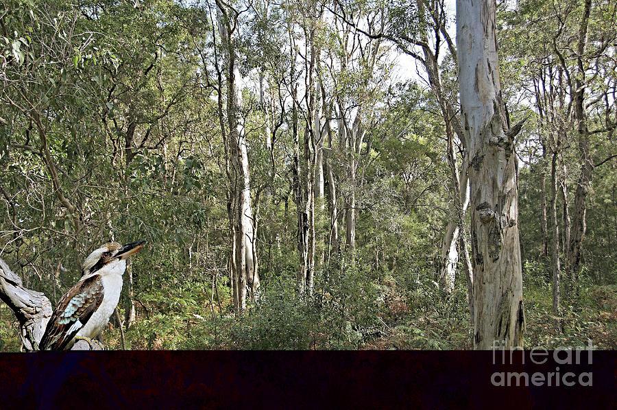 Kookaburra Amongst the Gum Trees.  by Geoff Childs