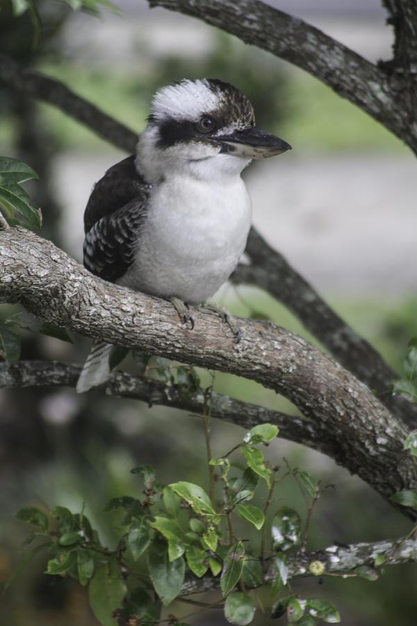 Kookaburra Sits In The Old Tree Photograph
