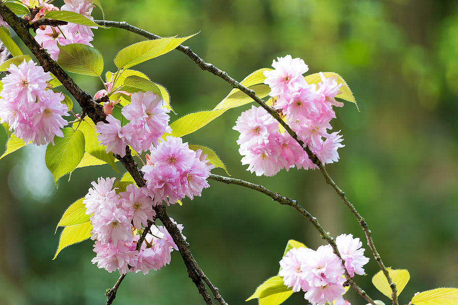 Prunus Serrulata Photograph - Kwanzan Cherry Bossom Flowers by David Gn