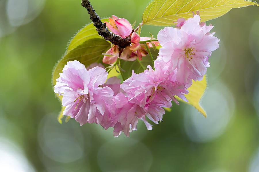 Prunus Serrulata Photograph - Kwanzan Cherry Bossom Flowers Macro by David Gn