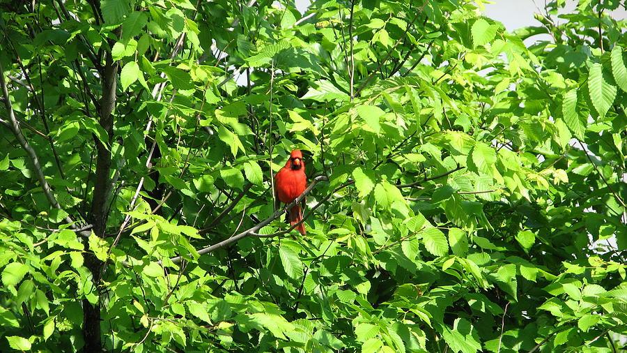 Bird Photograph - Ky Cardinal by Shigeo Akiyama