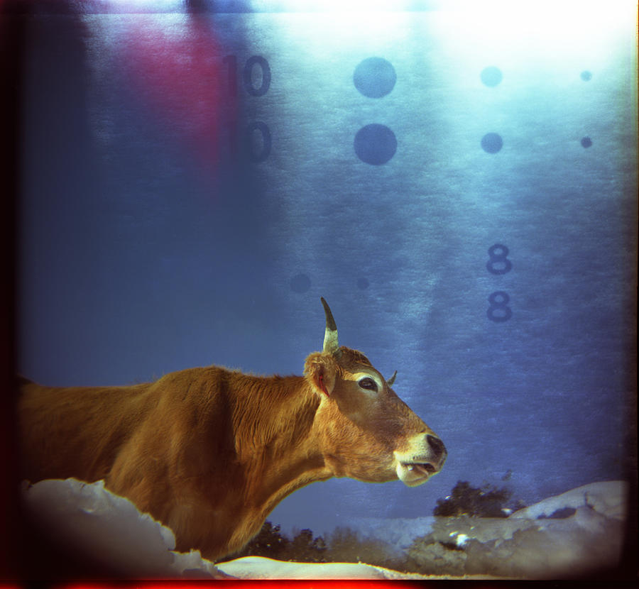 Cow Photograph - La Vache Numerique by Rafa Rivas