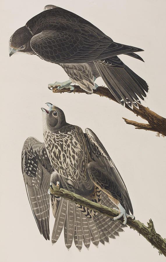 Falcon Painting - Labrador Falcon by John James Audubon