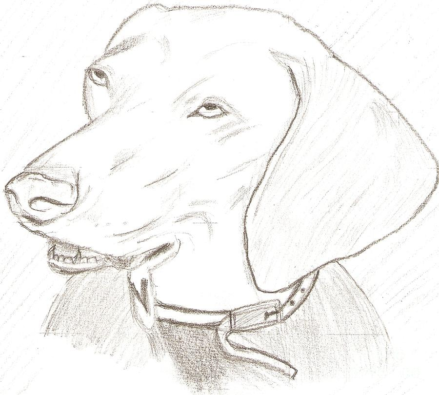Animal Drawing - Labrador by Karthik