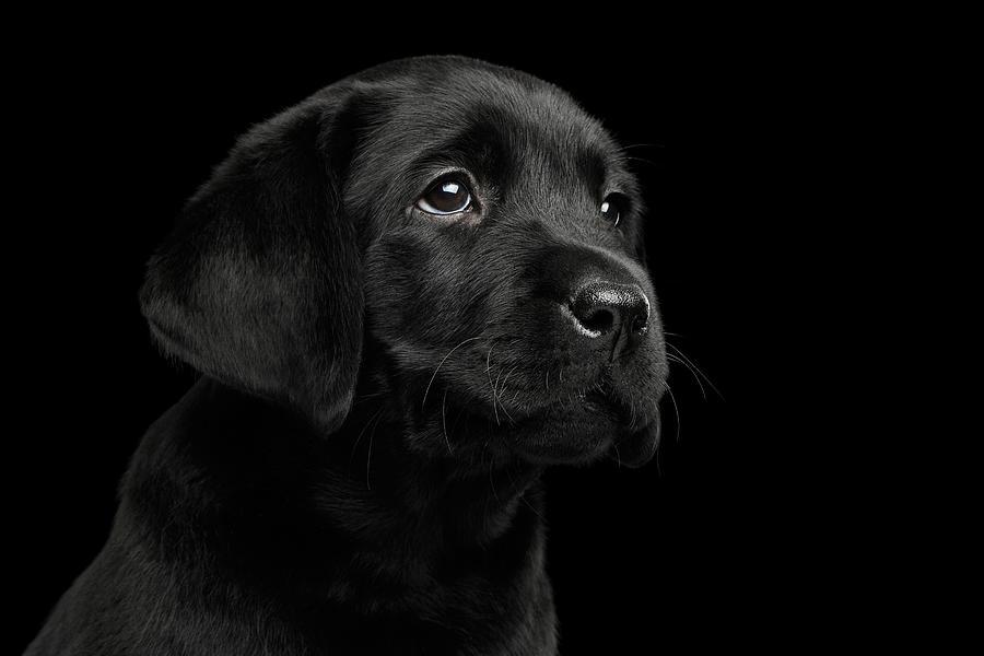 Puppy Photograph - Labrador Retriever puppy isolated on black background by Sergey Taran