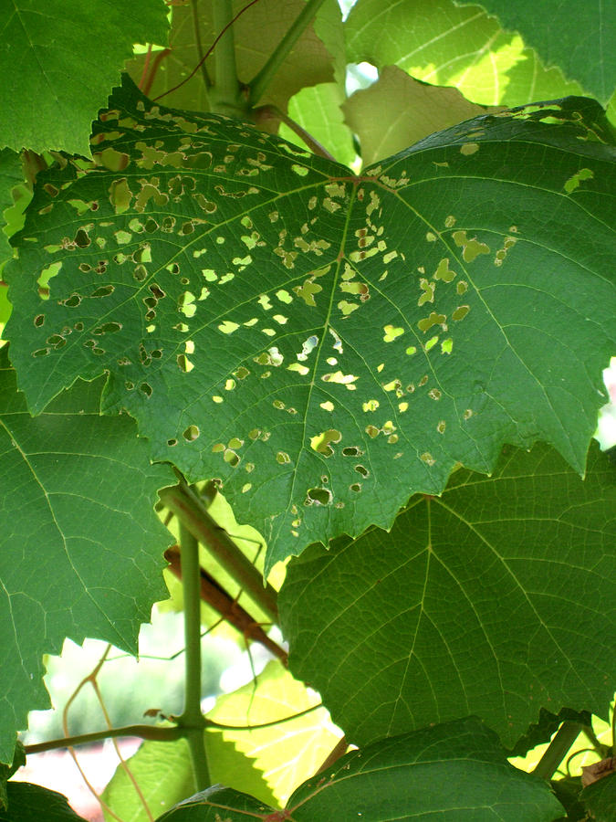 Vine Photograph - Lace In The Vines by Mindy Newman
