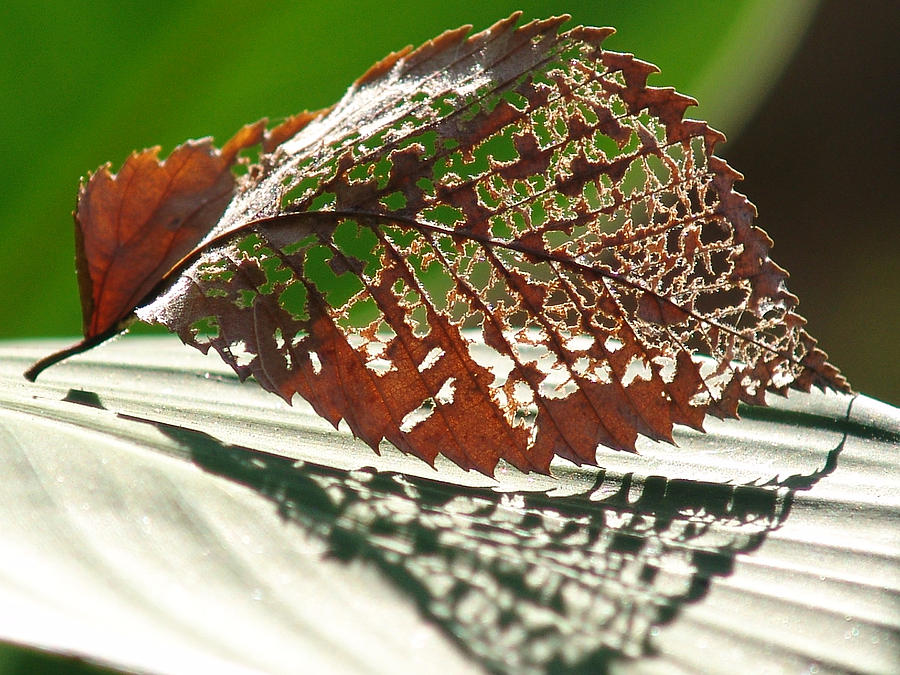 Leaf Photograph - Lacy Leaf by Kevin Callahan