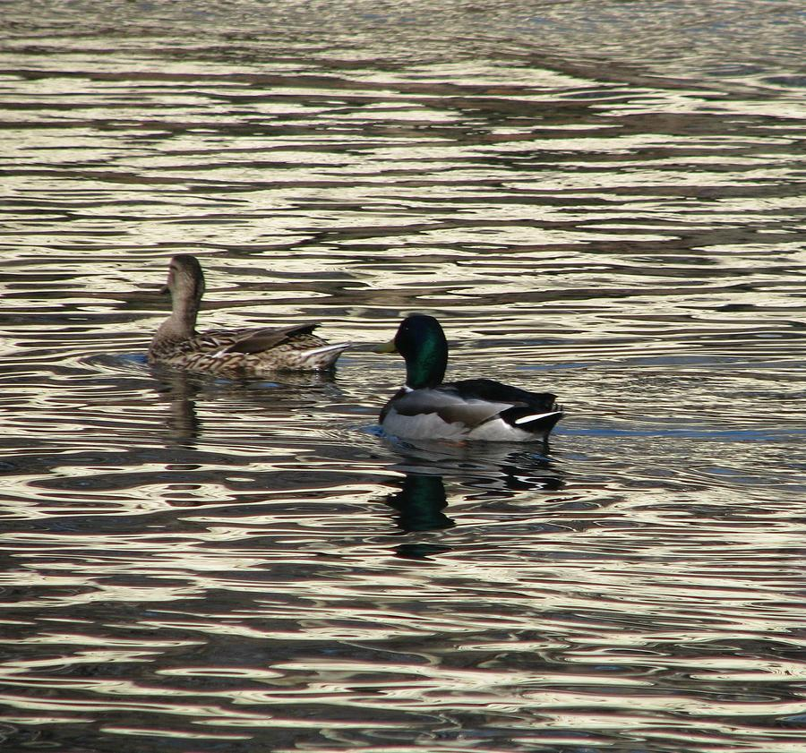 Mallard Duck Photograph - Ladies First by Hasani Blue