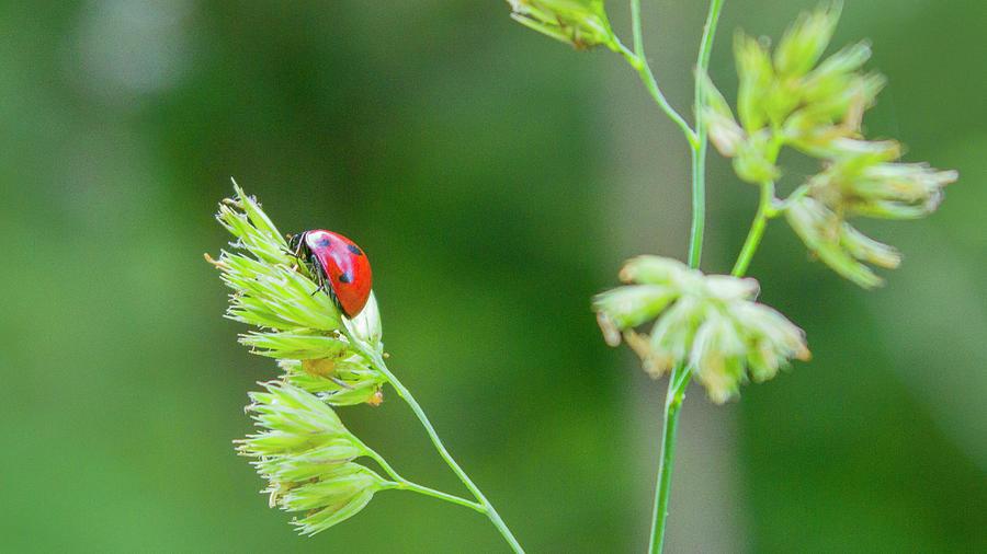 Lady Bird Photograph - Lady Bird On A Herb Straw Close Up by Vlad Baciu