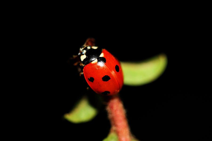 Lady Bug Photograph - Lady Bug Climb by Nick Gustafson
