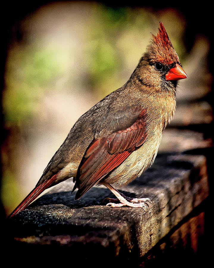 Lady Cardinal by Andrew Chianese