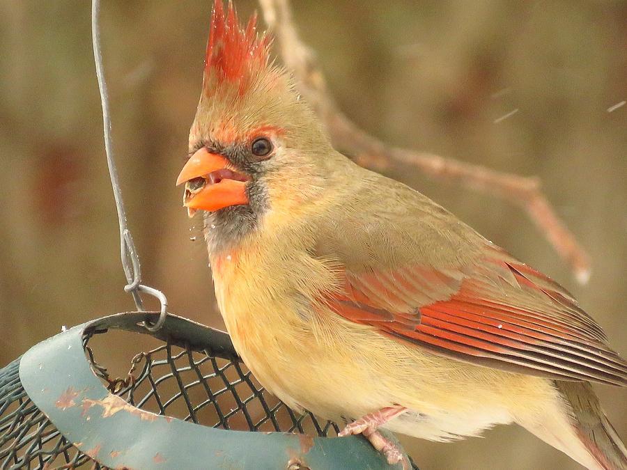 Cardinal Photograph - Lady Cardinal  by Lori Frisch