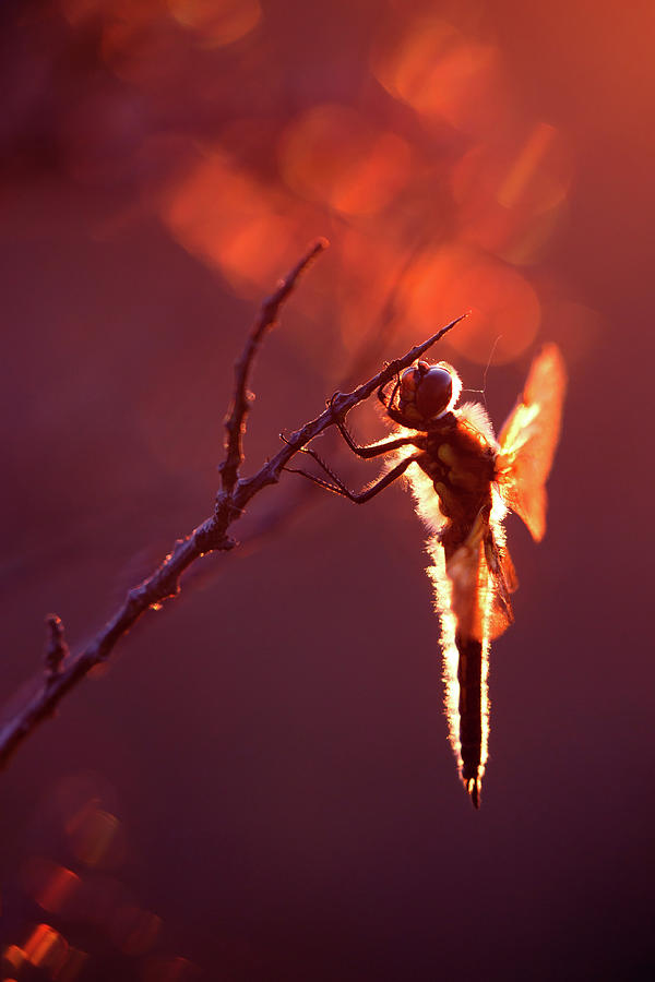 Libellula Quadrimaculata Photograph - Lady In Red II by Roeselien Raimond