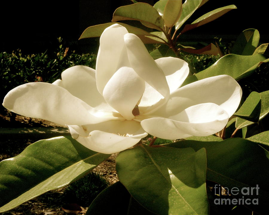 White Flower Photograph - Lady In White by Amy Strong