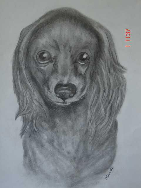 Dog Drawing - Lady by Maureen Blakeley