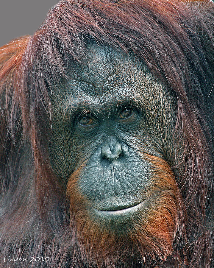 Orangutan Photograph - Lady Of The Forest by Larry Linton