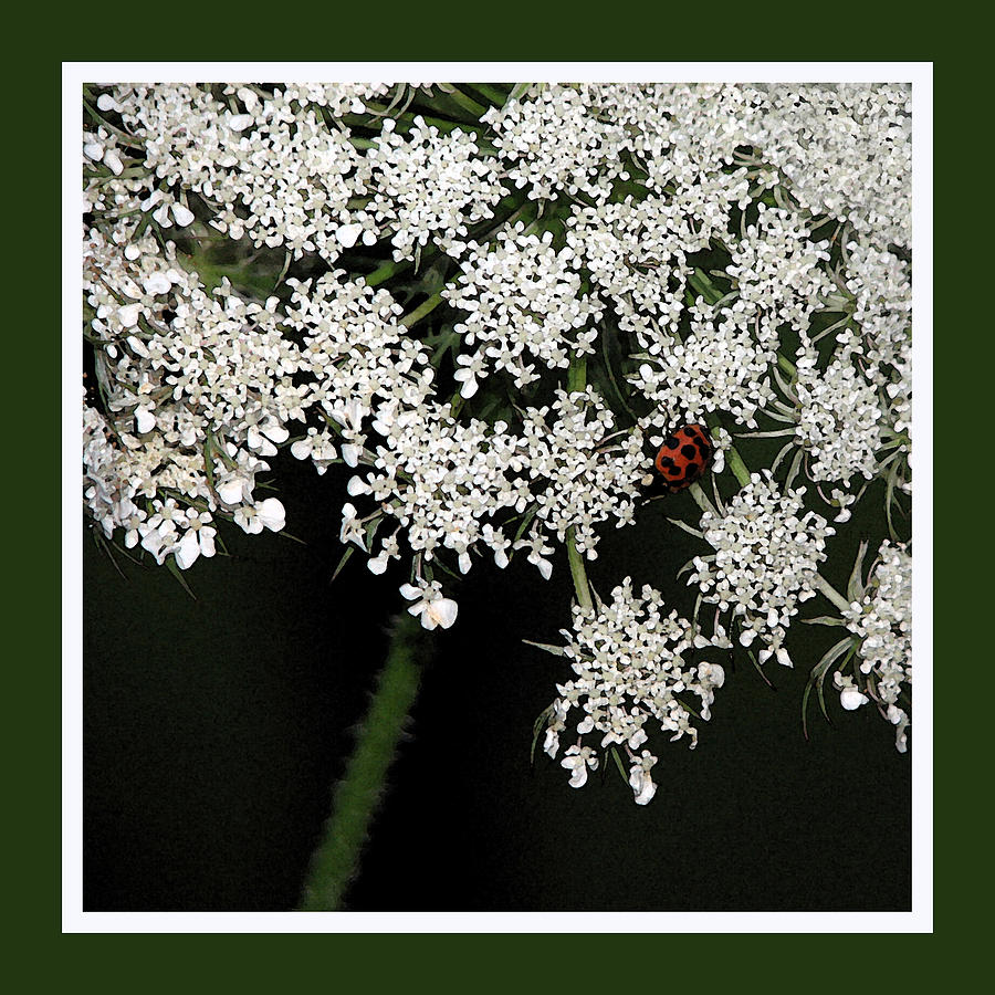Ladybug Photograph - Lady On Lace by Ginger Howland