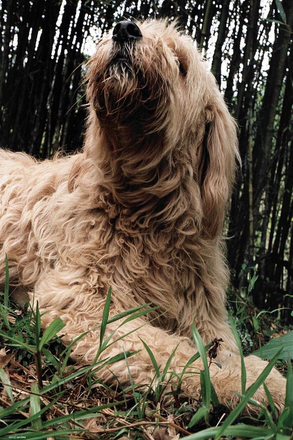 Dog Photograph - Lady Sheperd by David Cardona