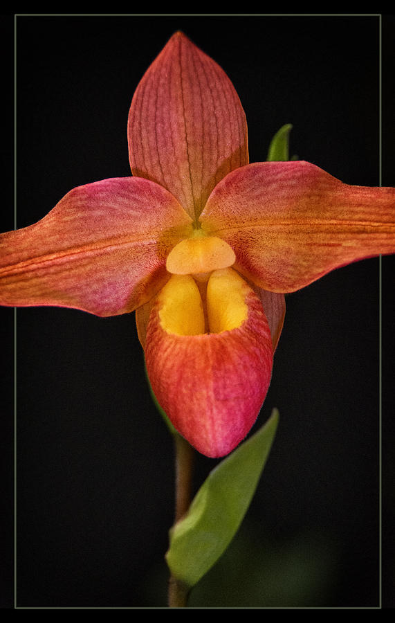 Orchid Photograph - Lady Slipper by Robert Fawcett