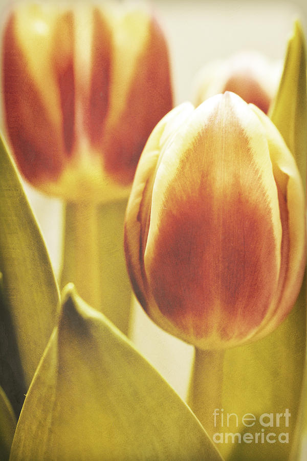 Tulips Photograph - Lady Tulip by Angela Doelling AD DESIGN Photo and PhotoArt