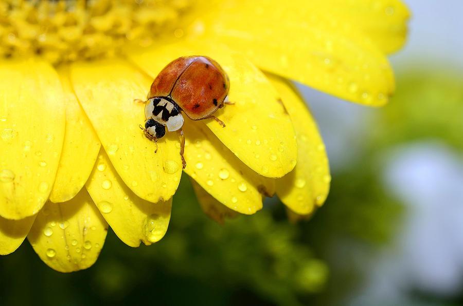 Lady Bug Photograph - Ladybird Beetle A Ladybug by Laura Mountainspring