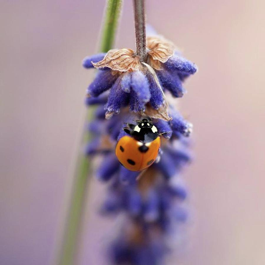 Ladybug Photograph - Ladybird On Norfolk Lavender  #norfolk by John Edwards