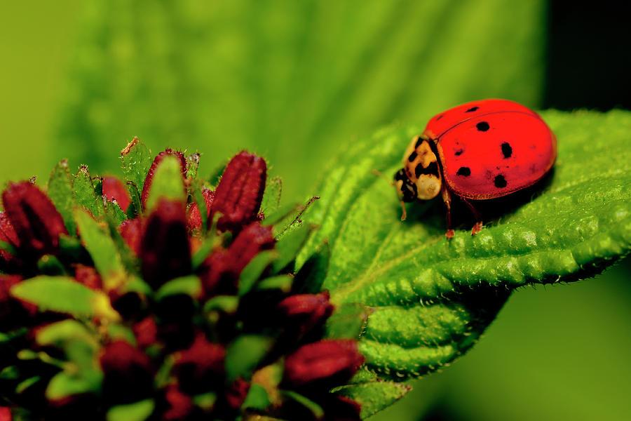Ladybug Photograph - Ladybug Atop A Leaf by Roberto Aloi