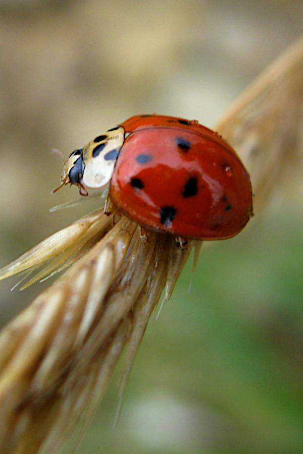 Animal Photograph - Ladybug I by Michele Stoehr