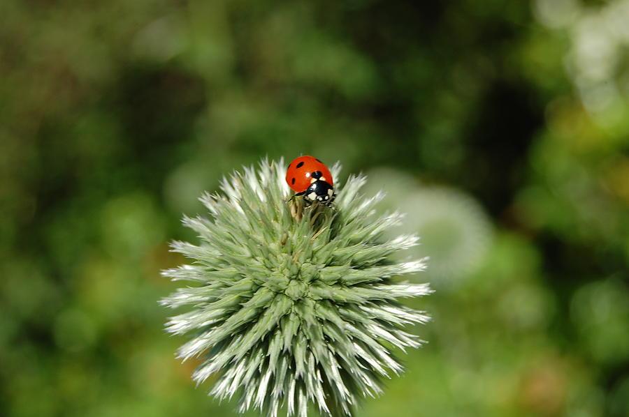 Ladybug Photograph - Ladybug by Jean Booth